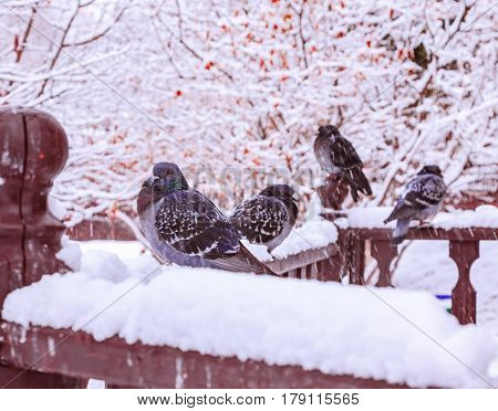 The city under the spring snow. A spring snowfall. A small flock of pigeons poultry sitting under falling snow. The birds wet and cold. Daytime ambient light. For illustrating weather phenomena.