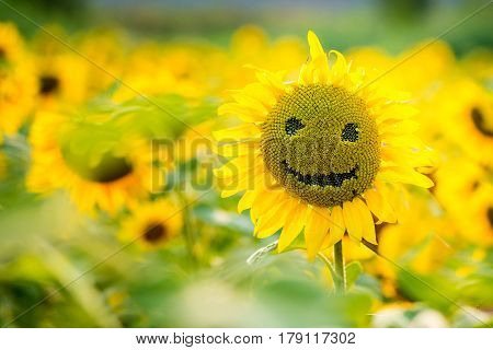 sunflowers smiling on a field of sunflowers in the summer on a sunny day