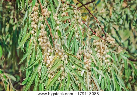 Bunches of ripe berries, on oleaster elaeangus angustifolia tree branch