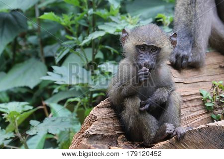 Baboon Youth With Food