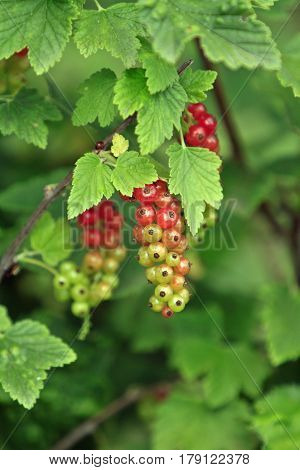 a Currant plant with half ripe berries