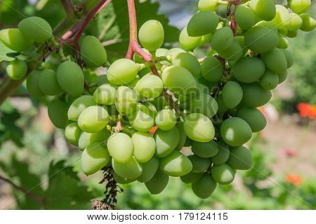Immature bunch of grapes in the garden close up.