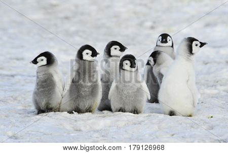 Emperor Penguins chicks at Snow Hill in Antarctica