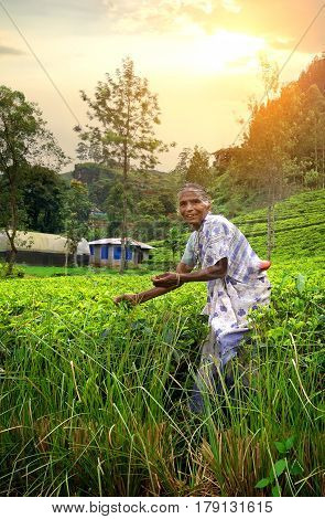 NUWARA ELIYA, SRI LANKA - December 29: Woman from Sri Lanka picks in tea leaves on tea plantation on December 29, 2015 in Nuwara Eliya, Sri Lanka. Ceylon is one of the largest producers of tea