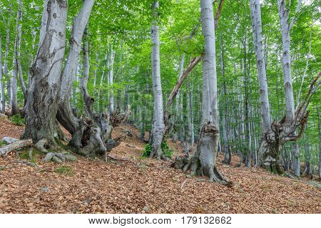 beech forest in the Valcan Mountains Romania