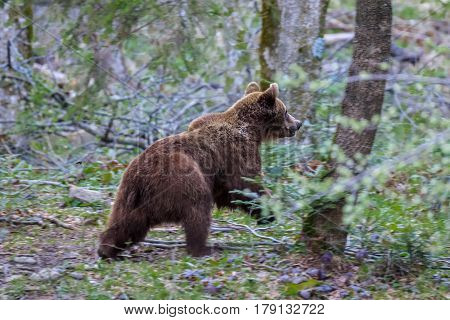 wild bear in the Fagaras Mountains Romania