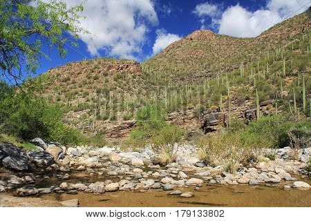 A mountain of saguaro cactus beside a creek in Bear Canyon in Sabino Canyon Recreation Area Park in the Sonoran Desert along the Santa Catalina Mountains in Tucson, Arizona.