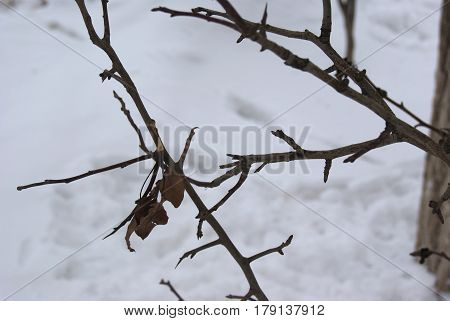 Elm Tree Buds And Leaves In Winter