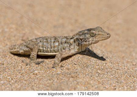 /Moorish Gecko (Tarentola mauritanica) in North African desert
