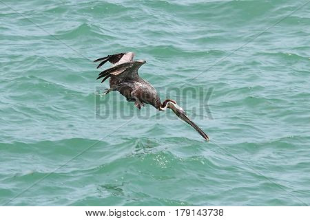 Brown Pelican (Pelecanus occidentalis) in flight over the Florida Everglades