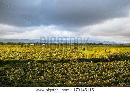 Beautiful lush green vineyard on a sunny summer day,  view from the top, Spain