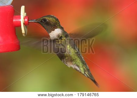 Male Ruby-throated Hummingbird (archilochus colubris) in flight at a feeder with flowers in the background