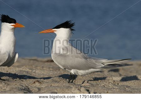 Royal Terns, Thalasseus maximus in breeding plumage on a beach in Florida in the spring