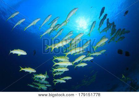 Yellowfin Goatfish school. Shoal of yellow fish in blue ocean