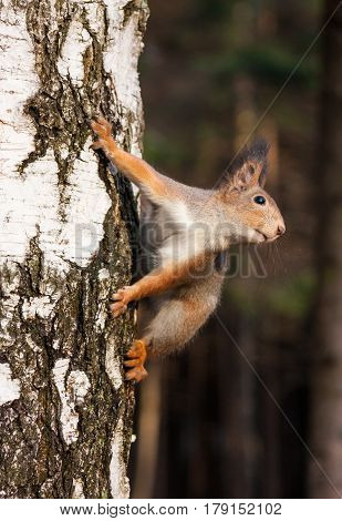 Red squirrel posing on the birch tree in park