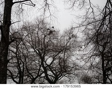 Rooks build nests early in spring. Black and white frame