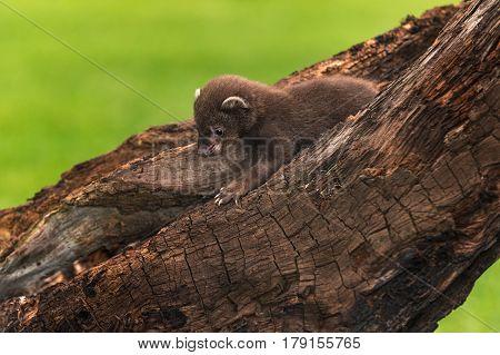 Fisher (Martes pennanti) Kit Crawls Left - captive animal