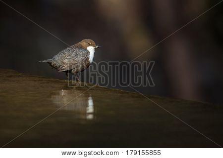 Cinclus cinclus, white-throated dipper in his natural habitat, small river/creek