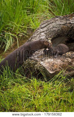 Adult American Mink (Neovison vison) Reaches Out to Grab Kit - capitve animals