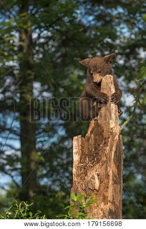 Black Bear Cub (Ursus americanus) Looks Down From Tree Top - captive animal