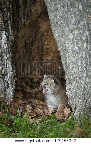 Canada Lynx (Lynx canadensis) Kitten Cries Out Within Hollow Tree - captive animal
