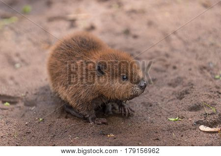 North American Beaver Kit (Castor canadensis) Stands on Sand - captive animal