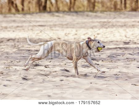 Playful sighthound. Whippet dog running on beach with ball in mouth.