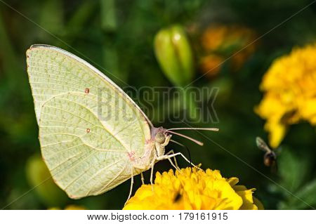 African Migrant Butterfly - Catopsilia florella on a Yellow Marigold flower