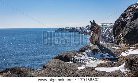 German Shepherd Dog Sitting On Rocky Newfoundland And Labrador Coastline On Sunny Day