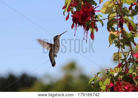 Anna's female hummingbird hovering at a Fuschia flower for nectar