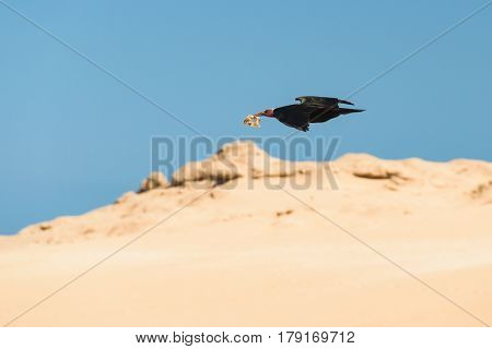Image of a flying northern bald ibis with material for building a nest in his beak in Tamri, Morocco.