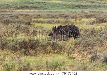 Grizzly bear cub pointing with paw standing up with mother in Yellowstone National Park