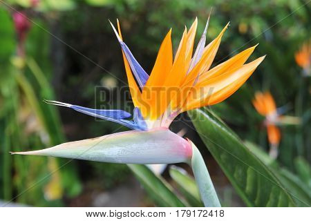Travel To Chiangmai, Thailand. The Flower Of The Orange And Blue Strelitzia On The Branch In A Garde