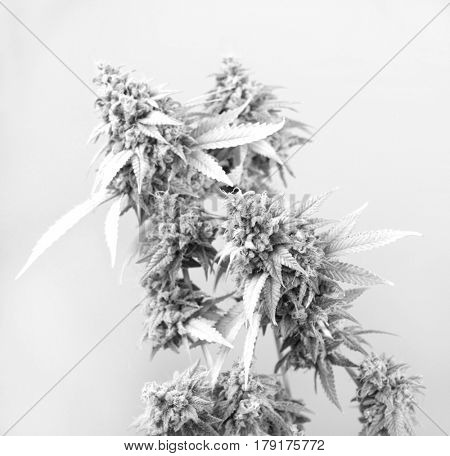 Detail of cannabis cola (Thousand Oaks marijuana strain) with visible hairs and leaves on late flowering stage - isolated over white background