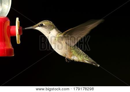Juvenile Ruby-throated Hummingbird (archilochus colubris) in flight with a black background at a feeder