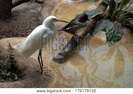 snowy egret bird standing by the side of a pool of water
