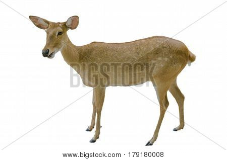 Antelope , Antelope on the white background