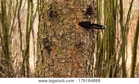 Black knife thrown into a tree throwing metal sporting projectile stuck in a trunk of a pine