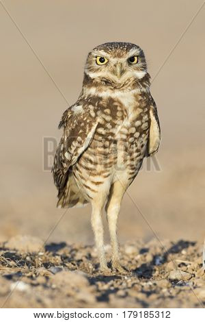 Burrowing Owl Perched On The Ground - Salton Sea, California