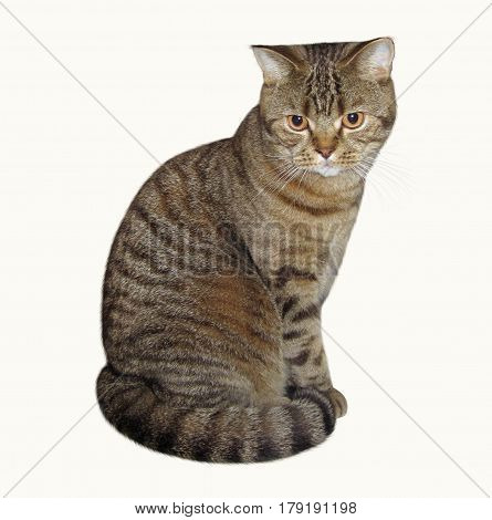 The Scottish Straight cat sits and stares at something. White background.