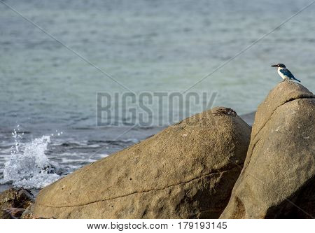 Stand off - Blue and white Collared kingfisher stands off with a large beach crab on top of shore line rocks.