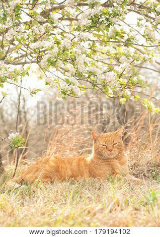 Ginger tabby cat resting peacefully under a flowering apple tree in spring, back lit by sun