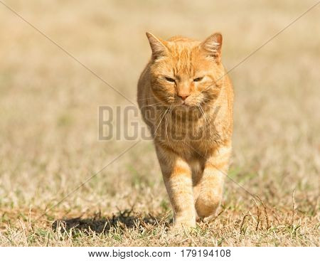 Ginger tabby cat walking in grass towards viewer