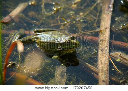 Toad In A Pond