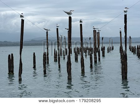 Royal Tern seagulls on pillars in the Caribbean Sea in the Guanacaste province, Costa Rica on pillars in the Caribbean Sea in the Guanacaste province, Costa Rica