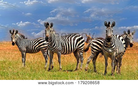 Dazzle of Plains Zebra standing on lush grass with a cloudscape background in Bumi Hills on the shore of Lake Kariba in Zimbabwe