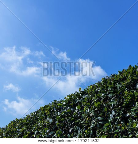 Hedge against blue sky. Green gardening. Outdoors