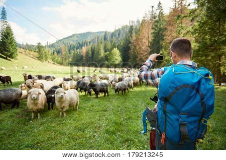 Rearview of a young man wearing a backpack taking photos of a flock of sheep while out for a hike in the countryside