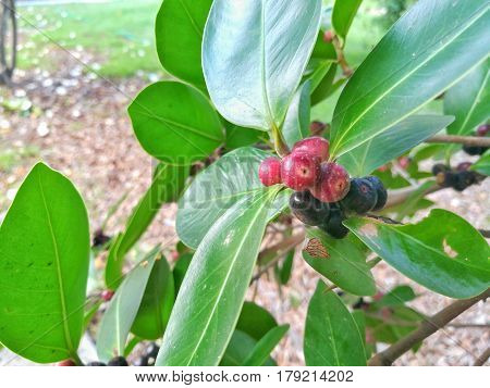Close up picture of Banyan fruits on the branch.