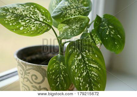 Dieffenbachia houseplant near window. Fragment of houseplant leaves on windowsill.